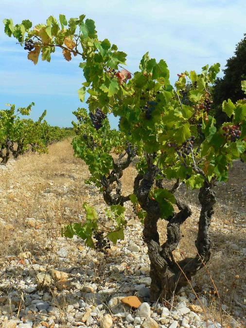 Visuel 2/4 : Plaines viticoles de Suze-la-Rousse