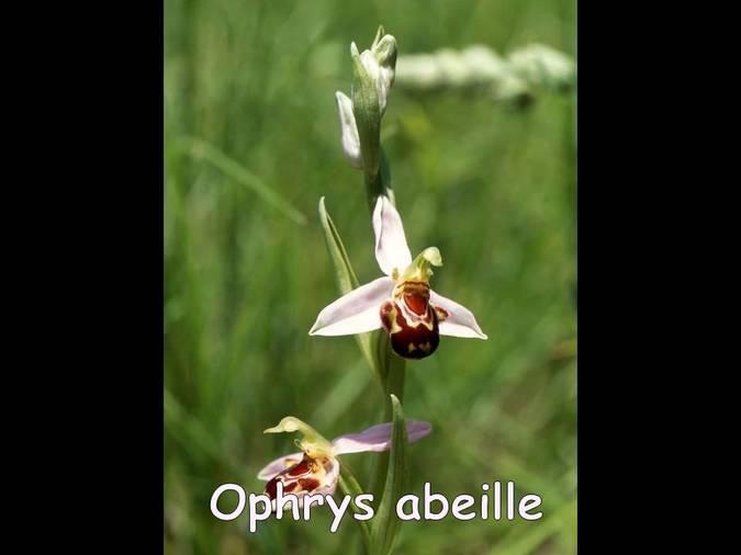 Visuel 2/6 : Les Orchidées des Monts du Matin